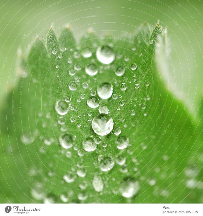 Taufrisch Natur Pflanze Wassertropfen Herbst Regen Blatt nass grün Farbfoto mehrfarbig Außenaufnahme Detailaufnahme Makroaufnahme Menschenleer Tag