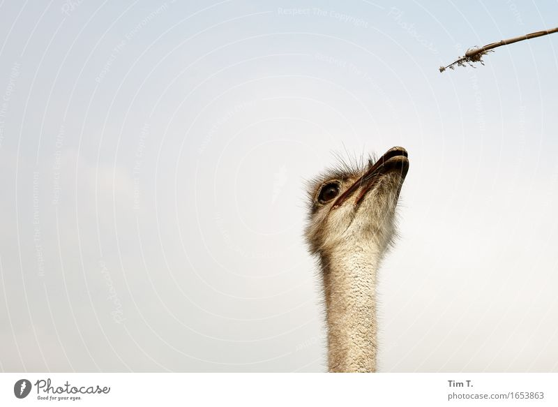 Vogel Strauss Tier Wildtier Kommunizieren Tiergesicht Nutztier Strauß
