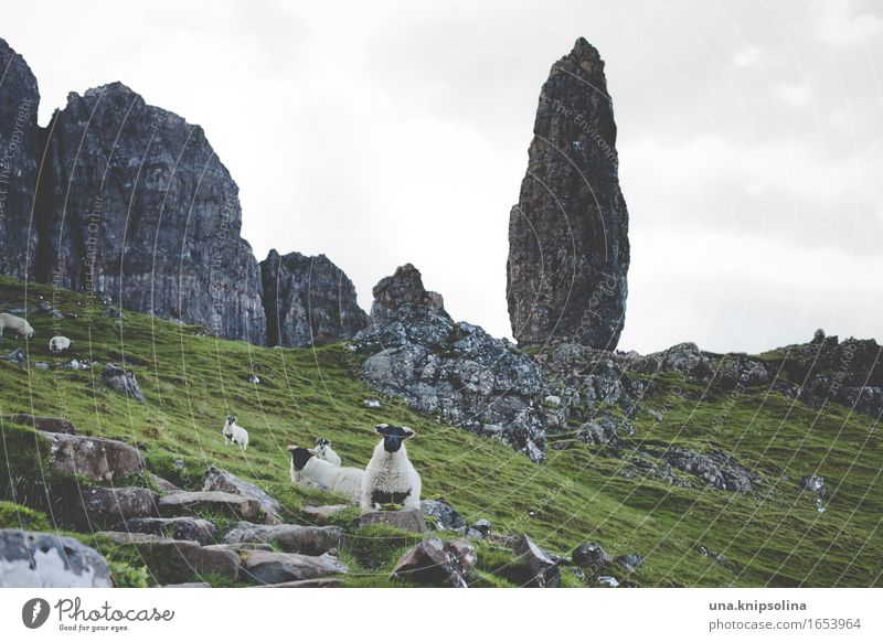 Felsnadel auf der Isle of Skye Felsen Schaf Schottland Hebriden Old Man of Storr Schafherde Landschaft grün Tourismus Sehenswürdigkeit Ausflug Wandern