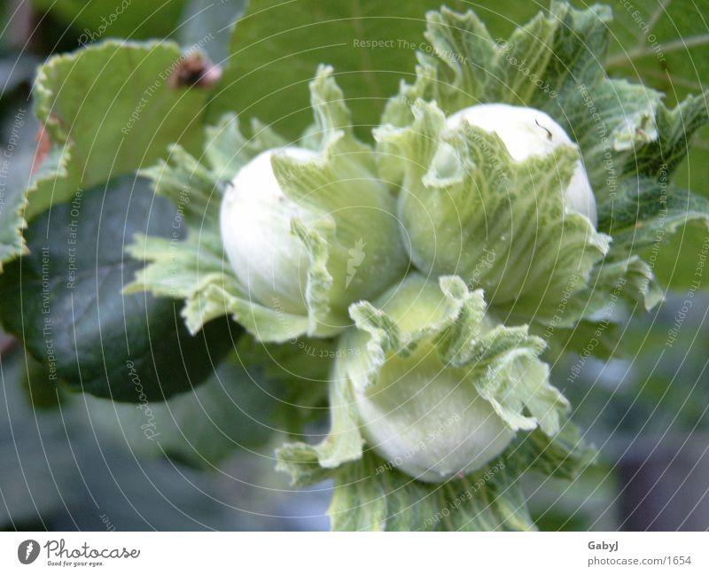 Haselnüsse Natur Herbst Frucht Nuss ursprünglich Erntedankfest Haselnuss