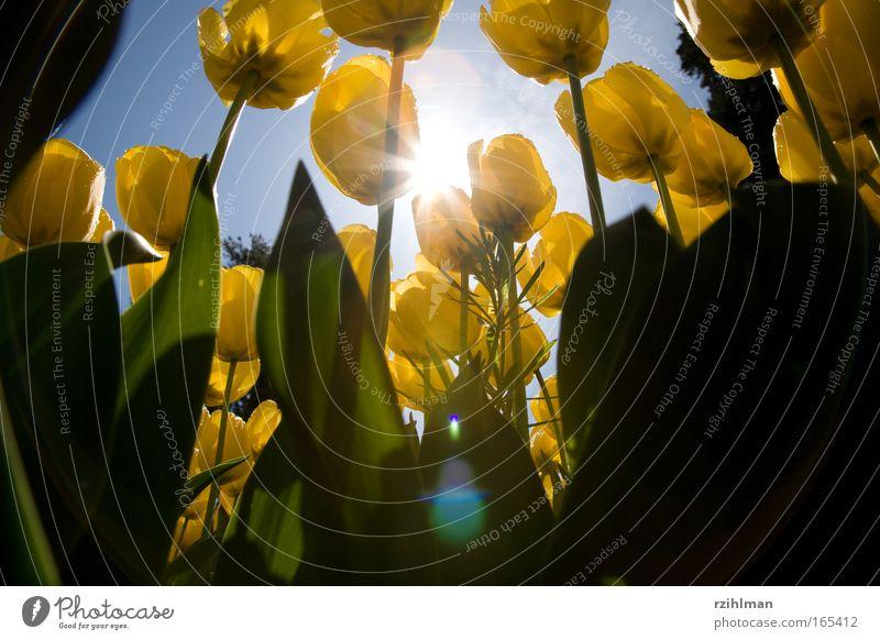 Tulpen aus der Froschperspektive Natur schön Himmel Blume grün blau Pflanze Freude gelb Blüte Frühling Park frisch Hoffnung Romantik natürlich