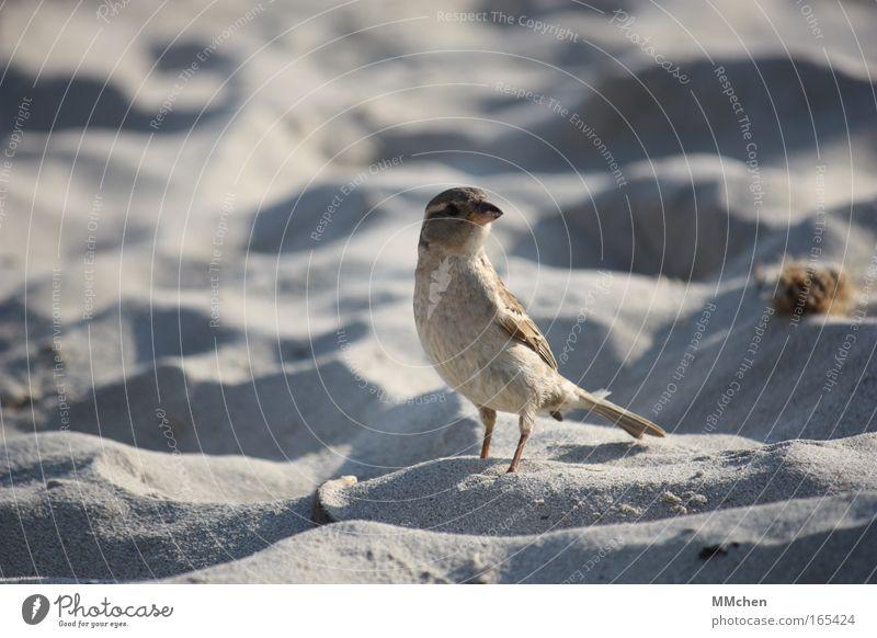 Strand-Schnorrer Farbfoto Außenaufnahme Textfreiraum links Hintergrund neutral Freiheit Sand Sandstrand Vogel 1 Tier entdecken Erholung fliegen füttern stehen