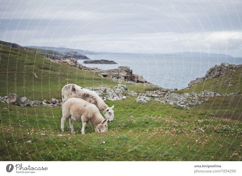 Schafe an der Küste von Schottland Lamm Natur Landschaft Meer rasenmähen Rasen Großbritannien
