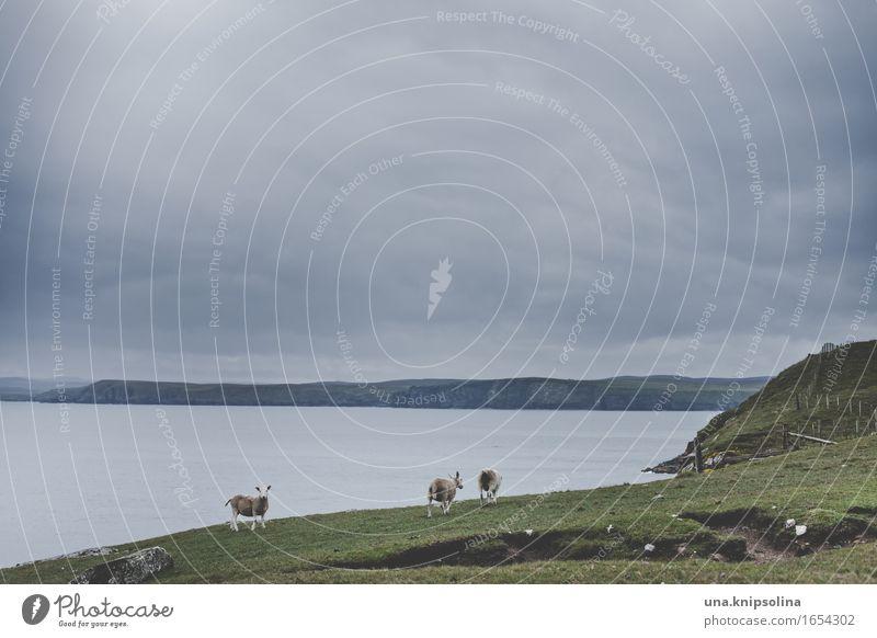 Ein Schaf kommt selten allein Ferien & Urlaub & Reisen Tourismus Abenteuer Natur Landschaft Wolken Wiese Küste Meer Schottland Nutztier 3 Tier Herde beobachten