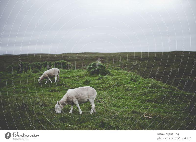 schafe irgendwo in schottland Natur Landschaft Wolken schlechtes Wetter Wiese Feld Schottland Tier Nutztier Schaf 2 Fressen Farbfoto Gedeckte Farben