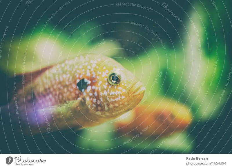Hemichromis Lifalili Fisch Natur Tier Wasser Tiergesicht Aquarium 1 Schwimmen & Baden exotisch maritim grün orange Wassertier Farbfoto Nahaufnahme