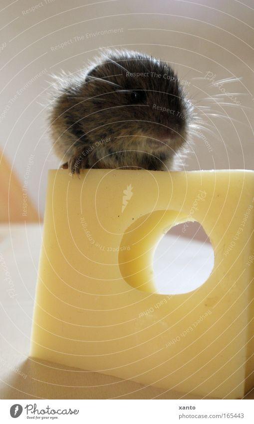 Mäuse würden Käse kaufen schön Ernährung Tier gelb Glück braun warten beobachten Neugier entdecken Wildtier lecker Freundlichkeit Maus Fressen Freude