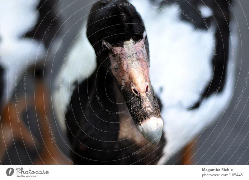 Gans Farbfoto Gedeckte Farben Außenaufnahme Nahaufnahme Tierporträt Vorderansicht Wegsehen Natur Wildtier Vogel Tiergesicht Zoo 1 Denken Traurigkeit Wärme grau