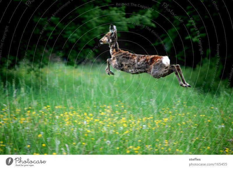 Sprung in den Frühling Natur Freude Tier Zufriedenheit Feld Fröhlichkeit wild Fell Wildtier Schüchternheit Reh Frühlingsgefühle
