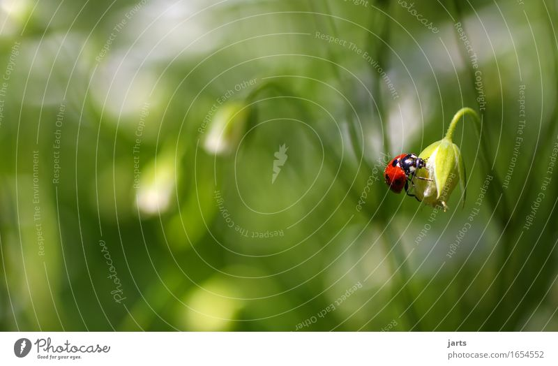 käfer des monats Natur Pflanze schön Sommer Blume Tier Blüte Frühling natürlich Gras Wildtier einfach Schönes Wetter krabbeln Käfer Marienkäfer