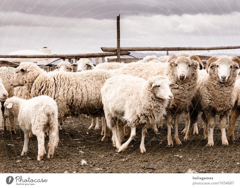 Schafe in einem Wüstenschreiber Landwirtschaft Forstwirtschaft Tier Nutztier Tiergesicht Tiergruppe füttern stehen Utah wüst Bauernhof Ackerbau Lamm Ranch