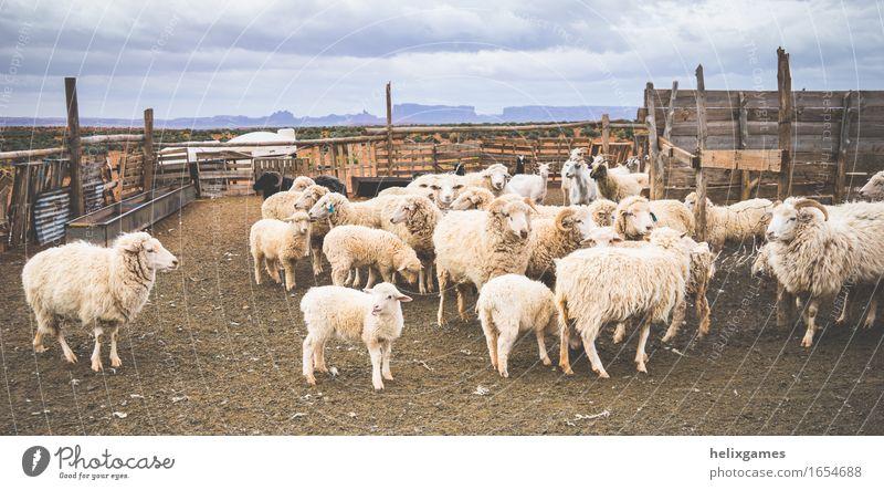 Lampen und Schafe Tier Wüste Nutztier Lamm Tiergruppe Herde stehen schön Utah wüst Bauernhof Ackerbau Monument Valley Ranch Viehzucht ländlich Farbfoto