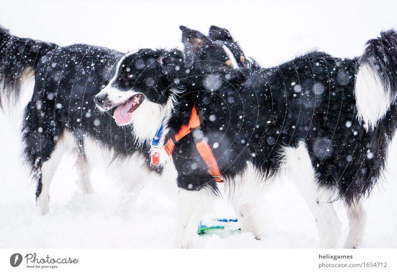 Hund weiß Tier Freude Winter schwarz Schnee Spielen Glück Freundschaft Schneefall Freizeit & Hobby Erfolg stehen nass Neugier