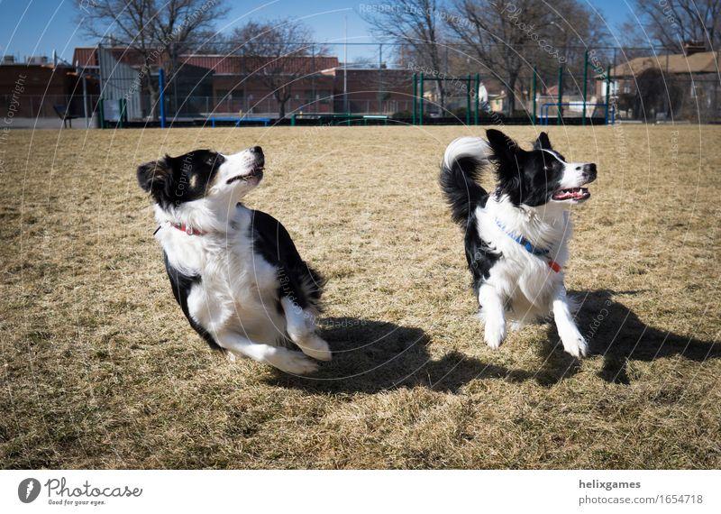 Border Collies spielen holen Tier Haustier Hund 2 Tierpaar rennen Blick Spielen Fröhlichkeit Zusammensein Vorfreude Begeisterung achtsam Wachsamkeit