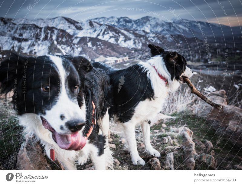 Zeit zum Spielen Natur Landschaft Berge u. Gebirge Gipfel Schneebedeckte Gipfel Tier Haustier Hund Border Collie 2 sportlich Freude Fröhlichkeit Zufriedenheit