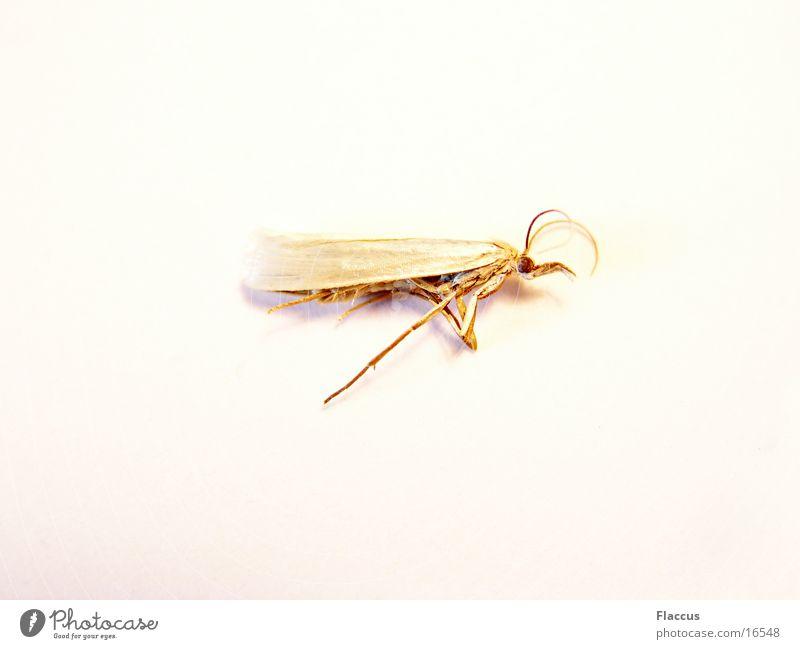 Goldener Engel Insekt Schmetterling Motte Verkehr Tod