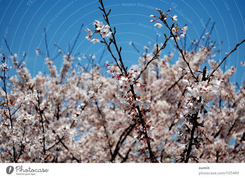 Zerbrechlich Natur schön Himmel Baum Pflanze Blüte Frühling Park Umwelt fantastisch Schönes Wetter Kirschblüten
