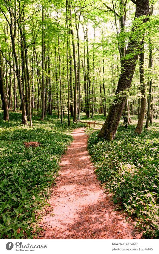 Bärlauch Kräuter & Gewürze Ausflug wandern Natur Landschaft Pflanze Frühling Sommer Schönes Wetter Baum Wildpflanze Wald Wege & Pfade Wachstum Freundlichkeit