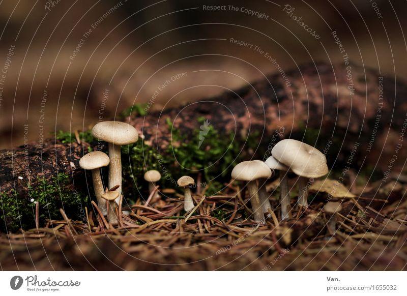 der Herbst ist da Umwelt Natur Pflanze Moos Pilz Zapfen Tannennadel Wald Wachstum klein braun Farbfoto Gedeckte Farben Außenaufnahme Nahaufnahme Tag