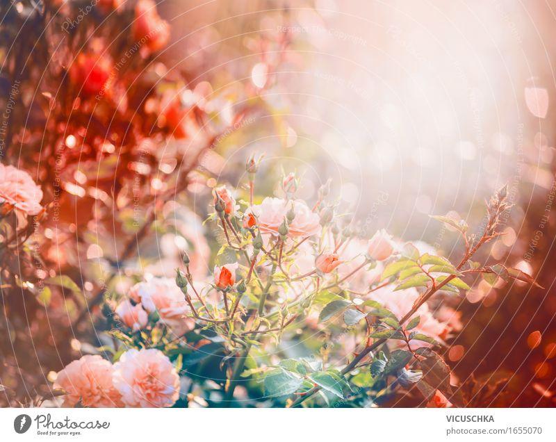 Rosen im Garten oder Park Lifestyle Design Sommer Natur Pflanze Sonnenaufgang Sonnenuntergang Sonnenlicht Herbst Schönes Wetter Sträucher Blatt Blüte Blühend