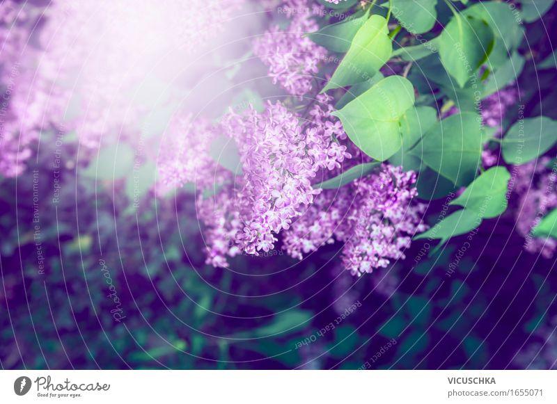 Flieder im Garten Lifestyle Sommer Natur Pflanze Sonnenlicht Schönes Wetter Blume Sträucher Blatt Blüte Park Blühend weich Design Duft horizontal Fliederbusch