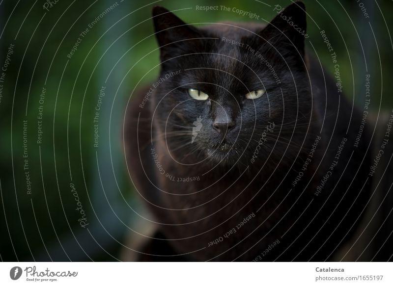 Böse Tier Haustier Nutztier Katze Fell 1 beobachten sitzen dunkel glänzend braun gelb grün schwarz Ausdauer Interesse böse Ärger Blick Schwarze Katze Farbfoto