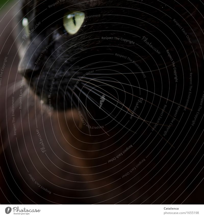 Sechster Sinn Katze Tier dunkel schwarz braun elegant gold ästhetisch Energie beobachten nah Fell Haustier silber beweglich Nutztier
