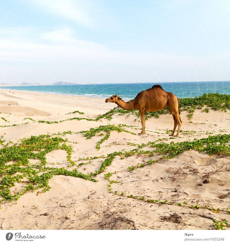 Dromedar in der Nähe des Meeres Essen Ferien & Urlaub & Reisen Tourismus Abenteuer Safari Sommer Strand Mund Natur Pflanze Tier Sand Himmel heiß wild braun grau
