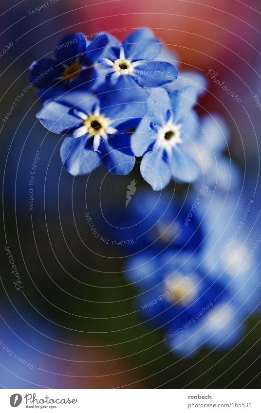 Vergissmeinicht Farbfoto Außenaufnahme Makroaufnahme Sonnenlicht Unschärfe Schwache Tiefenschärfe Natur Pflanze Frühling Blume Blüte Wiese ästhetisch Duft