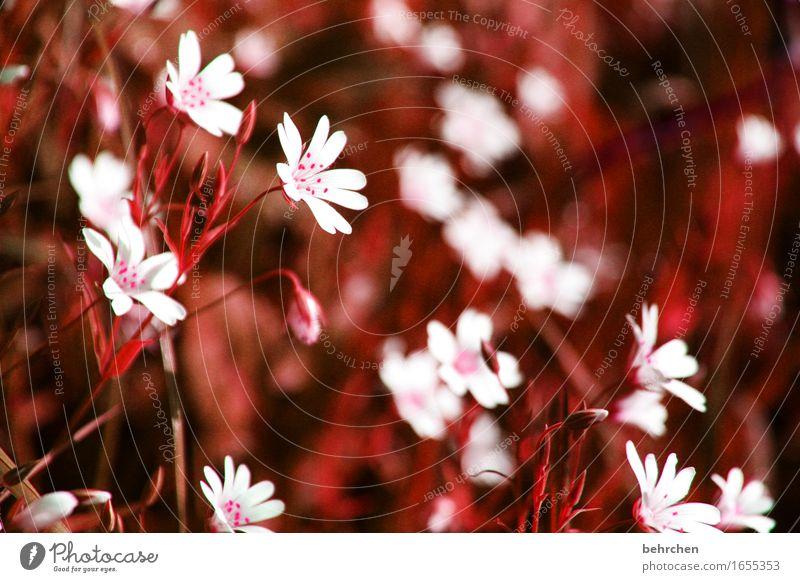kleinigkeiten Natur Pflanze Sommer Herbst Schönes Wetter Blume Gras Blatt Blüte sternmiere Garten Park Wiese Feld Blühend Duft verblüht dehydrieren Wachstum