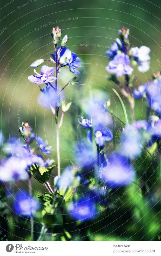 blümchen Natur Pflanze Sommer Schönes Wetter Blume Gras Blatt Blüte Veronica Garten Park Wiese Feld Blühend Duft verblüht Wachstum schön klein zart sommerlich