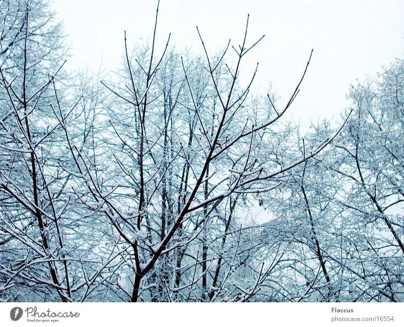 Winteräste Baum Schnee Ast Baumkrone