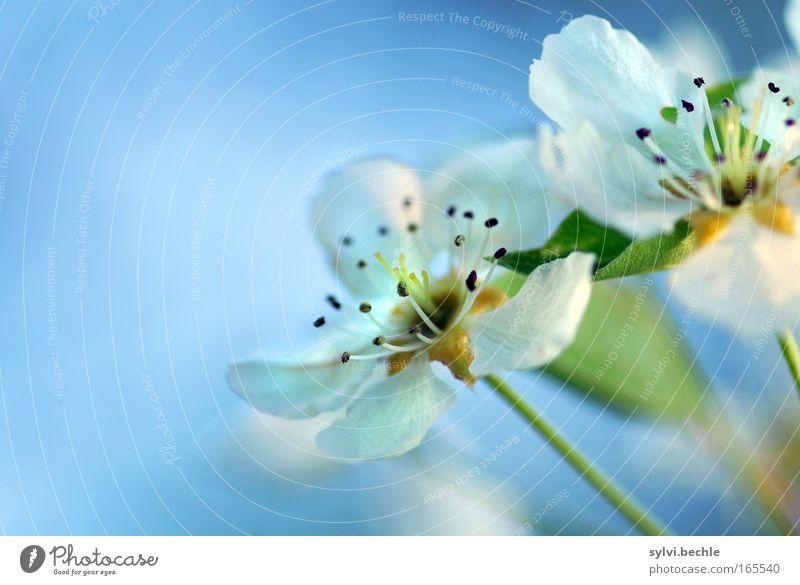 blütentraum Pflanze Himmel Frühling Blüte Blühend Duft Wachstum blau weiß Romantik schön Beginn rein unschuldig Vergänglichkeit Wandel & Veränderung Kirsche