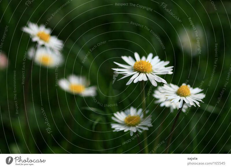gänseblümchen Farbfoto Außenaufnahme Schwache Tiefenschärfe Umwelt Natur Pflanze Blume Gras Gänseblümchen Blumenwiese Wiese Rasen Graswiese grün weiß ästhetisch