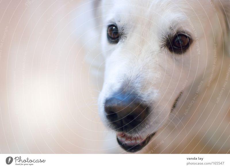 Golden Boy Farbfoto Gedeckte Farben Innenaufnahme Menschenleer Textfreiraum links Hintergrund neutral Unschärfe Schwache Tiefenschärfe Tierporträt Blick