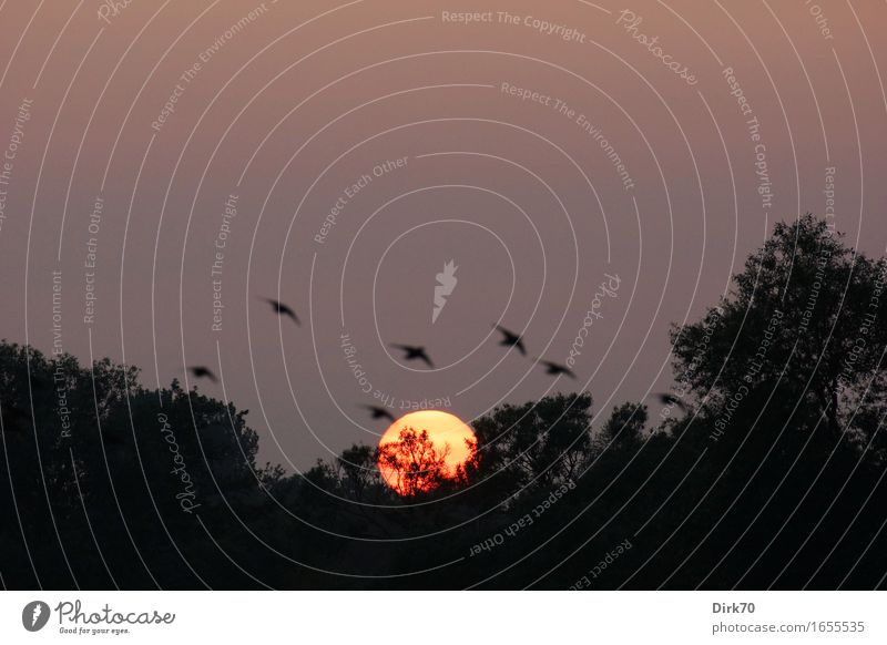 Abendvögel Natur Landschaft Feuer Himmel Wolkenloser Himmel Sonne Sonnenaufgang Sonnenuntergang Sonnenlicht Frühling Sommer Klima Schönes Wetter Baum Baumkrone
