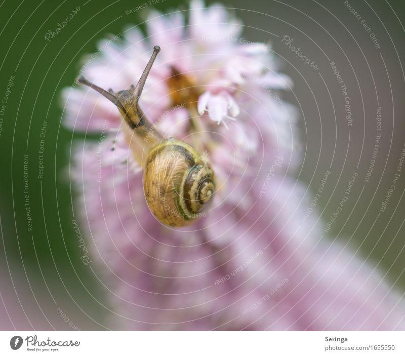 Am zarten Pink Natur Pflanze Tier Frühling Sommer Blume Gras Blatt Blüte Garten Park Wiese Feld Wald Schnecke 1 hängen Schneckenhaus Schneckenschleim Farbfoto
