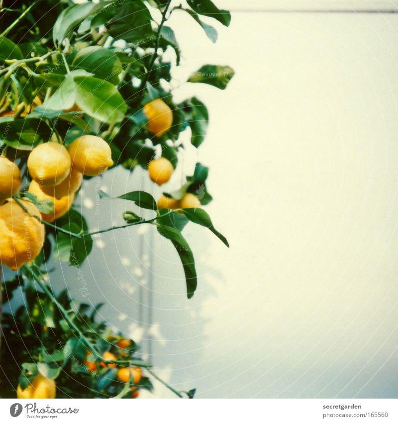 meine zitronen. Natur weiß grün Pflanze Sommer gelb Ernährung Wand Garten Frucht frisch ästhetisch Idylle Gemälde Reichtum Appetit & Hunger