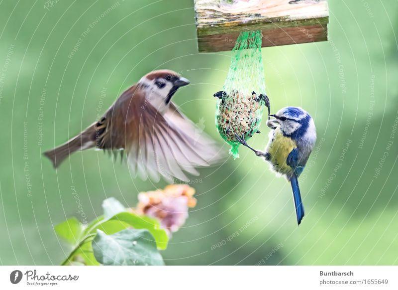 Treffpunkt Futterstelle Natur blau grün Tier Umwelt gelb Bewegung fliegen braun Vogel Zufriedenheit Wildtier Feder Flügel Zusammenhalt hängen