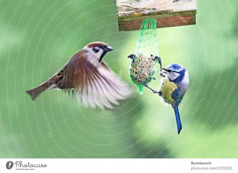 durch 2 geteilt Tier Wildtier Vogel Flügel Sperlingsvögel Spatz Feldsperling Feder fliegen Fressen füttern hängen authentisch Zusammensein natürlich blau braun