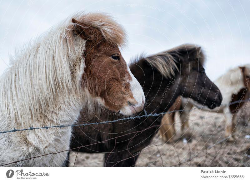 Islandpferde schön Leben Ferien & Urlaub & Reisen Umwelt Natur Landschaft Tier Urelemente Erde Wetter Schönes Wetter Wiese Nutztier Pferd Tiergesicht 3