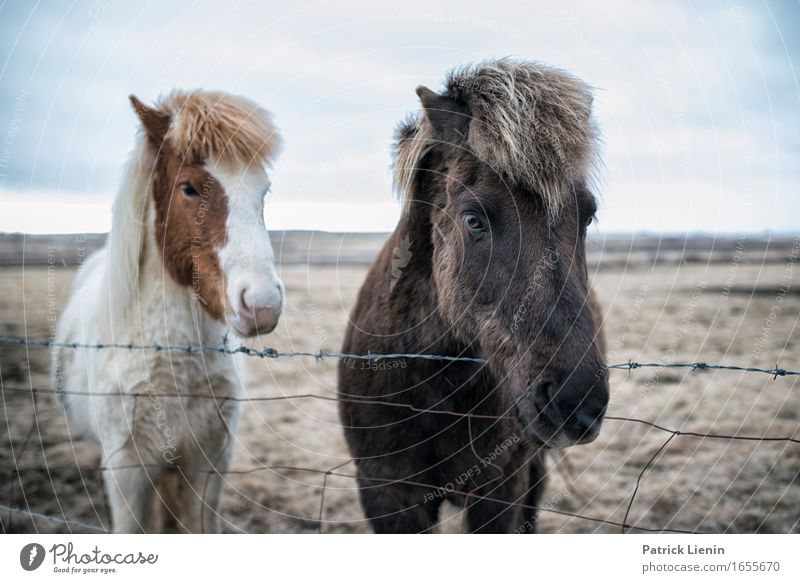 Islandpferde Natur Ferien & Urlaub & Reisen schön Landschaft Erholung ruhig Tier Umwelt Leben Wiese natürlich Erde Horizont wild Zufriedenheit Behaarung