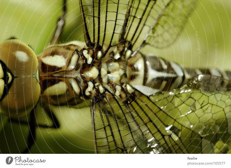 Königslibelle Natur schön weiß grün schwarz Tier oben groß frei Libelle Flügel fantastisch Wildtier Große Königslibelle