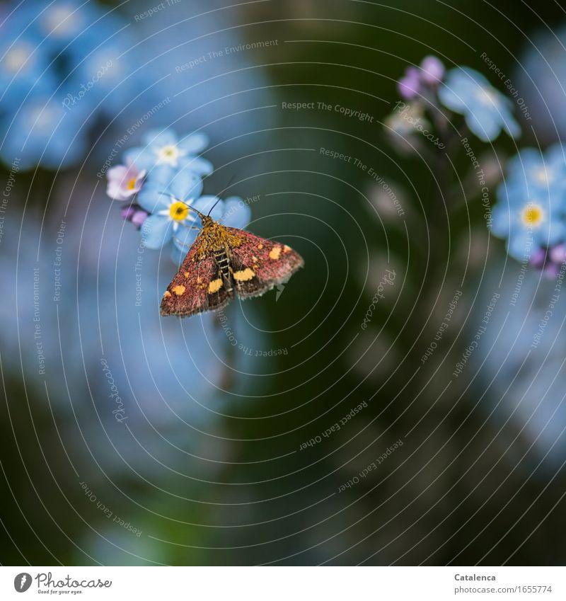 Tagaktiver Nachtfalter II Natur Sommer Pflanze Blume Blüte Vergißmeinnicht Garten Tier Wildtier Schmetterling Insekt 1 Blühend Duft fliegen Fressen verblüht