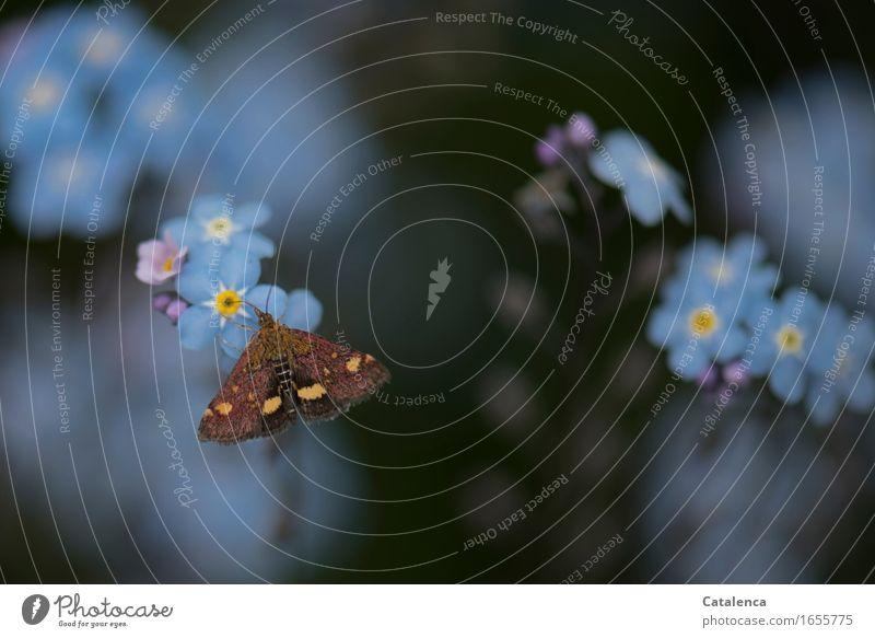Tagaktiver Nachtfalter Natur Sommer Pflanze Blume Blüte Vergißmeinnicht Garten Tier Wildtier Schmetterling Motte Insekt 1 Blühend Duft fliegen Fressen verblüht