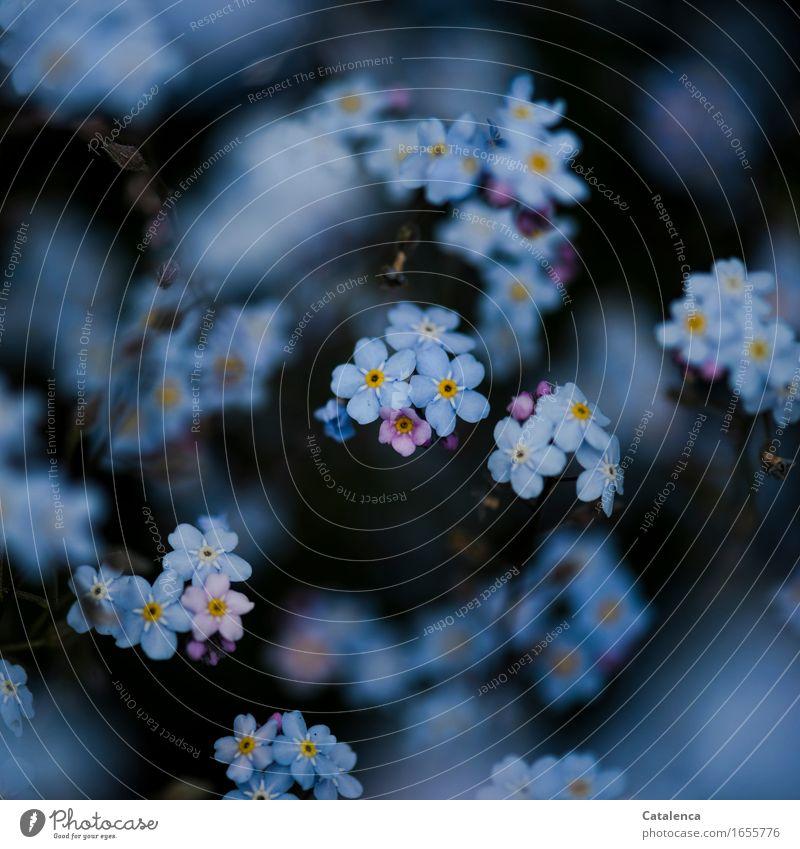 Erinnerdichanmich Natur Pflanze Blume Vergißmeinnicht Garten Blühend Duft verblüht dehydrieren Wachstum ästhetisch blau orange schwarz weiß Frühlingsgefühle