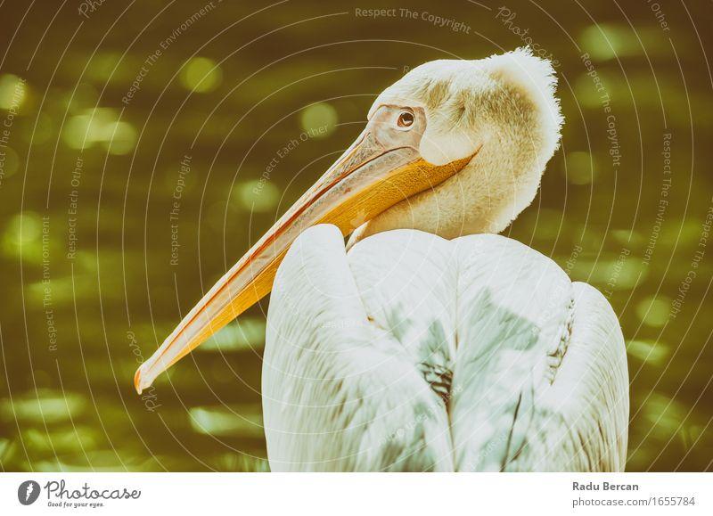 Wildes Pelikan-Porträt Natur Tier Wildtier Vogel Tiergesicht 1 beobachten Blick sitzen schön nah Neugier grün weiß Wildvogel Farbfoto Gedeckte Farben