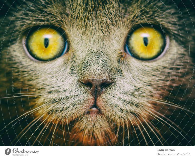 Britisches kurzes Haar-Katzen-Portrait Natur Tier gelb Gefühle lustig grau braun wild Wildtier Kommunizieren einfach beobachten niedlich Freundlichkeit Neugier