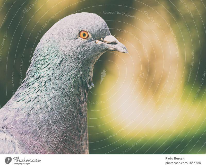 Tauben-Porträt Umwelt Natur Tier Wildtier Vogel Tiergesicht 1 beobachten Blick Freundlichkeit lustig niedlich blau grau grün orange taubenblau verwildert