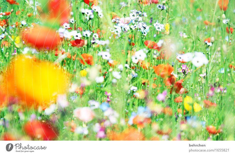 moin moin mo(h)ntag! Natur Pflanze Frühling Sommer Schönes Wetter Blume Gras Blatt Blüte Wildpflanze Mohn Garten Park Wiese Blühend Duft verblüht Wachstum schön